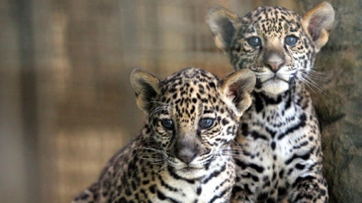 Two adorable baby jaguars who weren't shot by Brazilian soldiers.