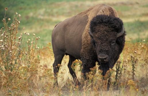 american_bison.jpg