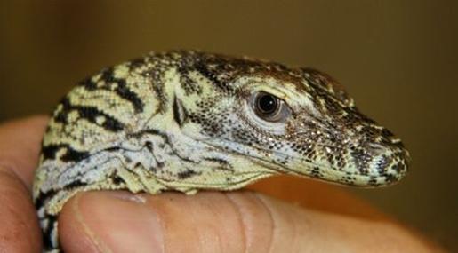 Denver Zoo adds three baby Komodo dragons |Cute Baby Komodo Dragons