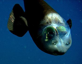 barreleye-fish.jpg