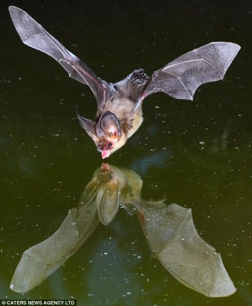 bat-drinking.jpg