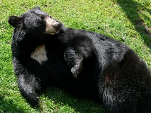 black-bear1.jpg