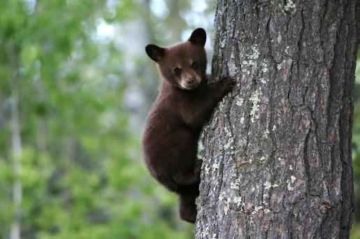 black_bear_cub.jpg