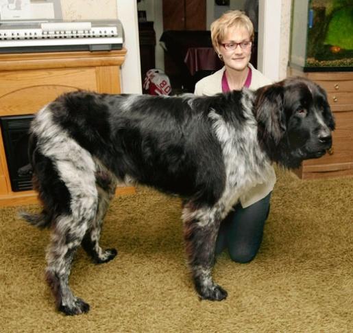 boomer-giant-dog.JPG