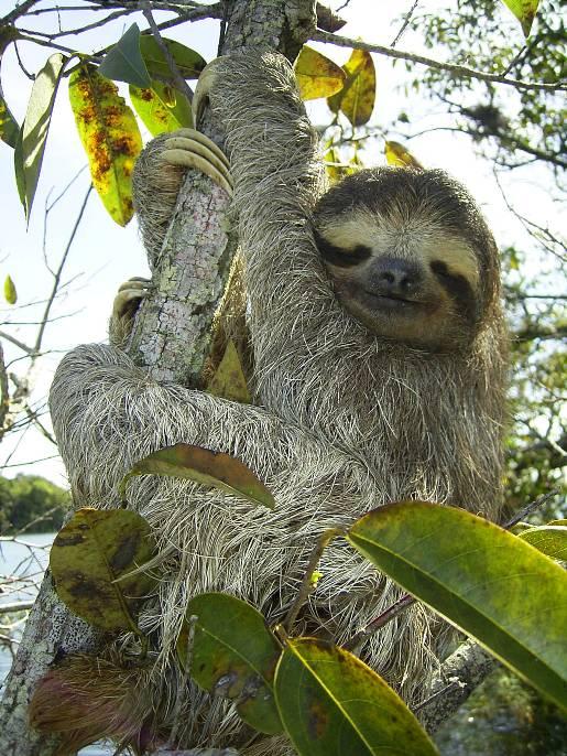 bradypus-three-toed-sloth.jpg