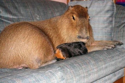 capybara-and-guinea-pig.jpg