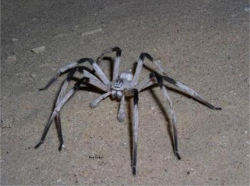 cerbalus-aravensis-giant-spider.jpg