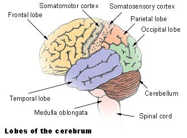 cerebrum_lobes.jpg