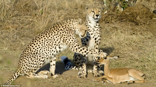 cheetahs-play-with-impala.jpg