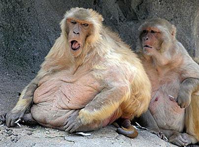 Obese Monkeys