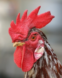 death-metal-rooster.jpg