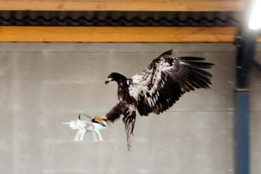 eagle-hunt-drones