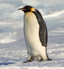emperor_penguin.jpg