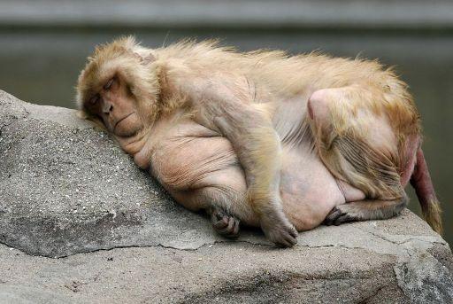 fat-monkey-surgery.jpg