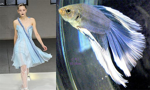 Siamese fighting fish fashion 3
