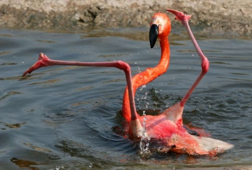 flamingo-flop.jpg