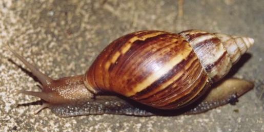 giant-african-snail.jpg
