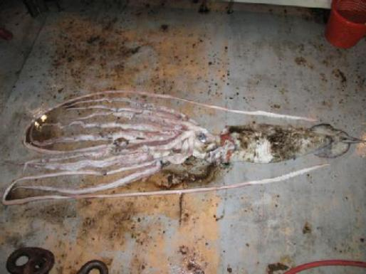 giant-squid.jpg