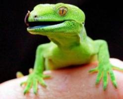 green-gecko.jpg