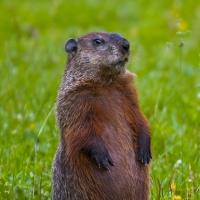groundhog-standing.jpg