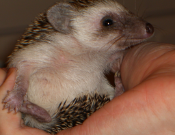 handheldhedgehog.png