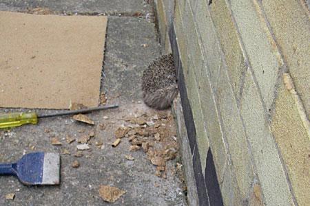 hedgehog-stuck-in-wall.jpg