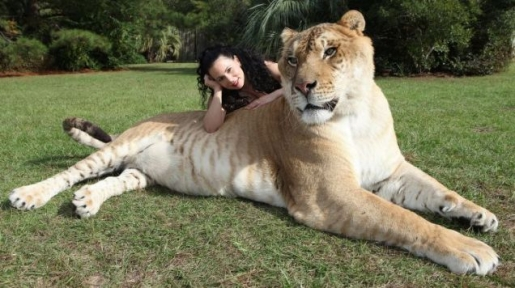 hercules-the-liger.jpg