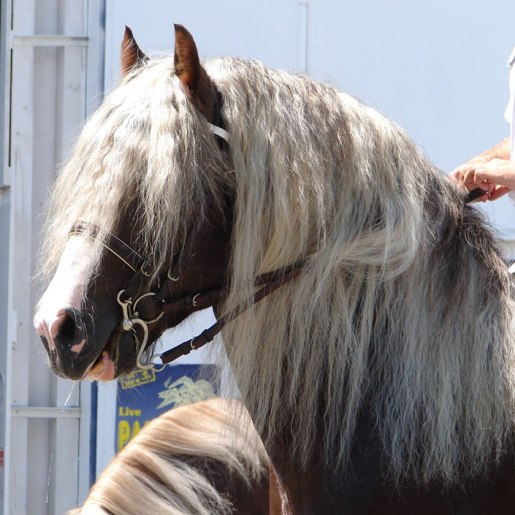 Horses with Long Manes
