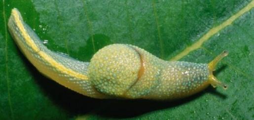 ibycus-rachelae-slug.jpg