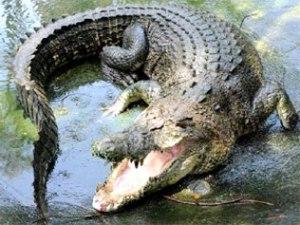 igor-the-crocodile.jpg