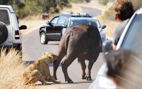 lioness-buffalo-fight.jpg