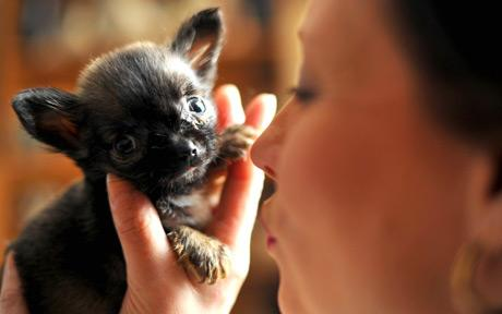lulu-worlds-smallest-dog.jpg