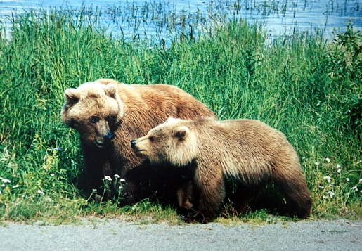 mother_and_cub_grizzly_bears.JPG