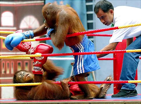 orangutan-kick-boxing.jpg