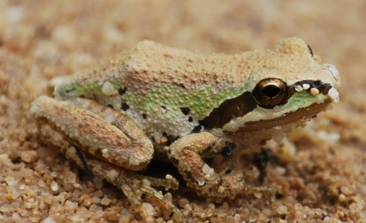 pacific_tree_frog.jpg