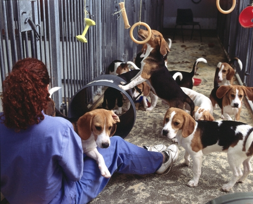 pack-of-beagles.jpg