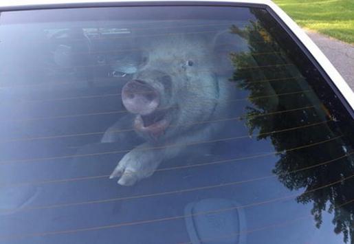 pig_patrol_car