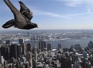 pigeon-flying.jpg
