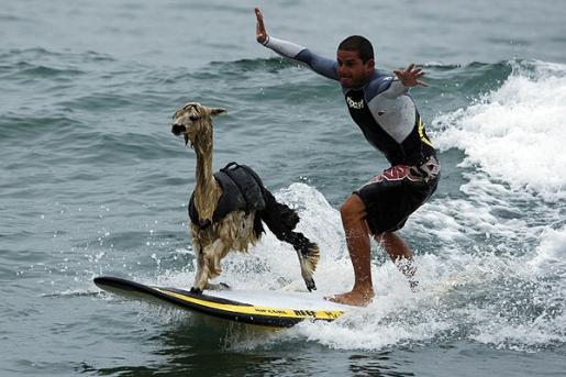 pisco-surfing-alpaca.jpg