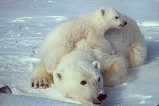 polar_bear_with_cub.jpg