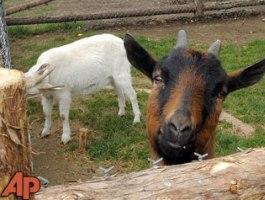 prison-goats.jpg