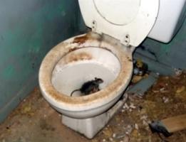 rats_toilet.jpg