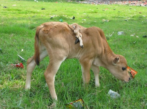 six-legged-calf.jpg