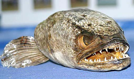 snakehead-fish.jpg