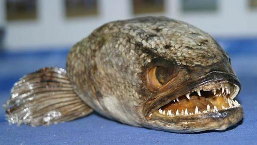 snakehead-fish1.jpg