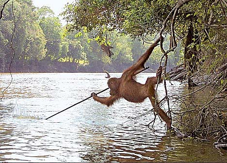 Orangutan Uses Spear to Fish