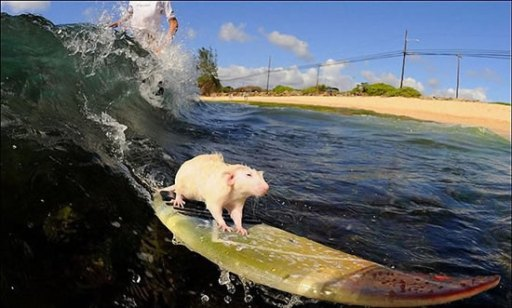 surfing-mouse.jpg