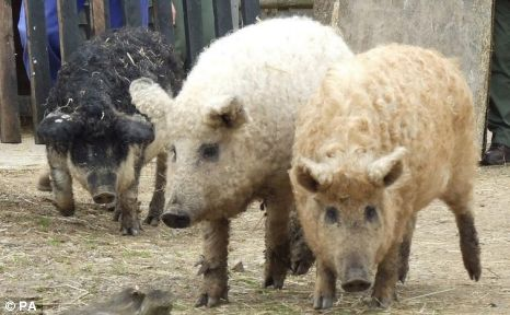 woolly-pigs.jpg